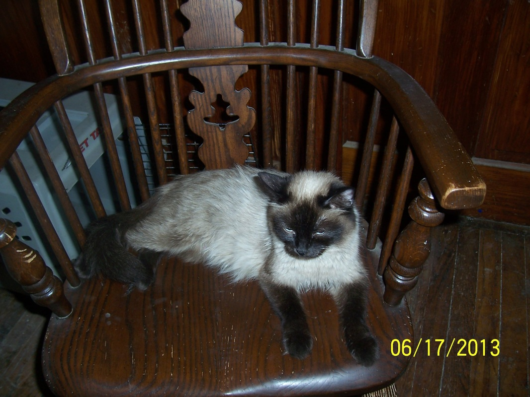 Chocolate Point Siamese and Balinese Kittens For Sale - Dunroven Farms
